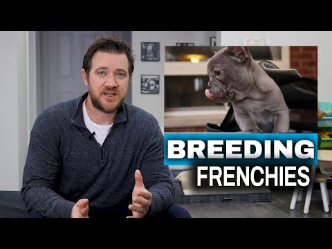 How to Breed French Bulldogs - Breeding Process