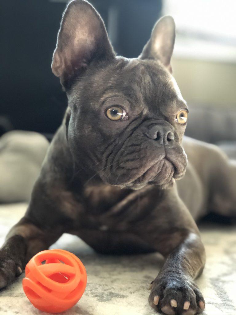 French Bulldog Color Genetics – Predicting Color