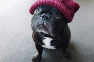 French Bulldog Color - Blue