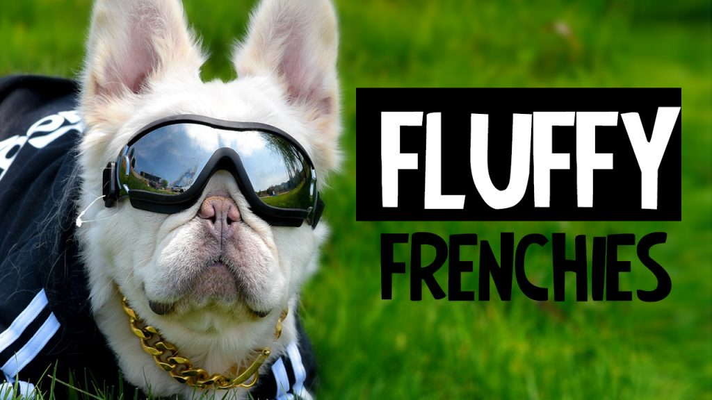 What is a Fluffy French Bulldog?
