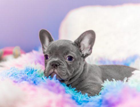 Puppy Lilac French Bulldog