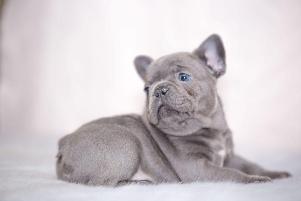 French Bulldog Color Genetics Explained